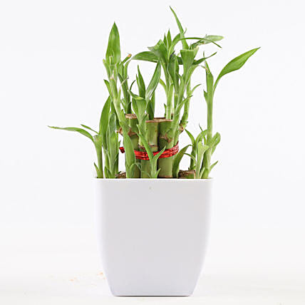 2 Layer Bamboo Plant In White Pot: Lucky Bamboo Plants
