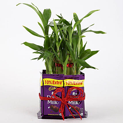 2 Layer Lucky Bamboo With Dairy Milk Chocolates: