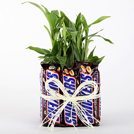 2 Layer Lucky Bamboo With Snickers: Lucky Bamboo Plants