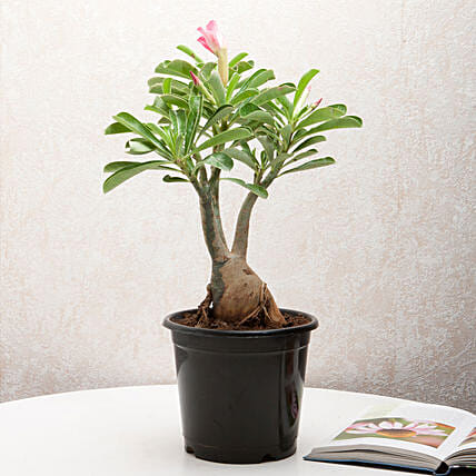 Adenium Desert Rose: Succulents and Cactus Plants