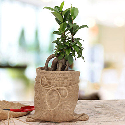 Amazing Ficus Microcarpa Plant: Send Miss You Gifts