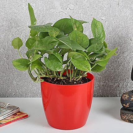 Auspicious Money Plant In Red Pot: Money Plant