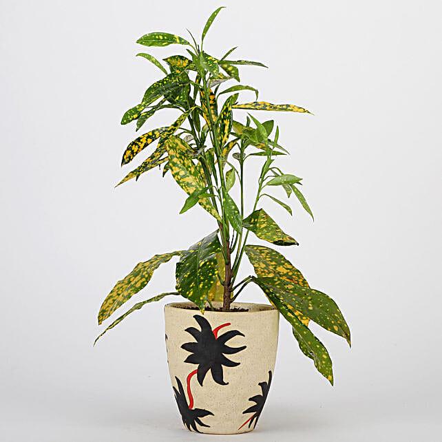 Baby Croton Plant In Ceramic Pot: Exotic Plants