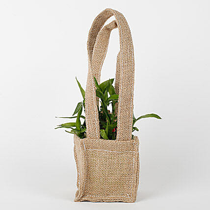 Carry Lucky Bamboo Plant Around: Spiritual Gifts