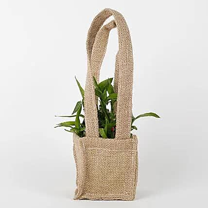 Carry Lucky Bamboo Plant Around: Bamboo Plants