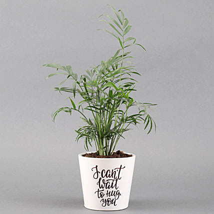 Chamaedorea Plant In White Ceramic Pot: Tropical Plant Gifts