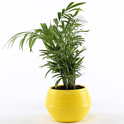 Chamaedorea Plant In Yellow Pot: Send Gifts for Teachers Day
