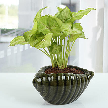 Dark green Shell Syngonium Plant: