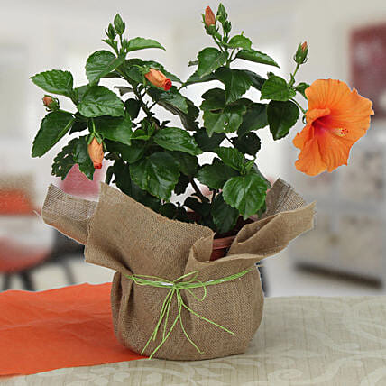 Delightful Hibiscus Plant: Tropical Plant Gifts