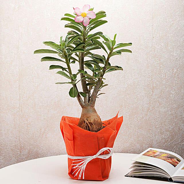 Desert Rose Adenium Plant: Puthandu Gifts