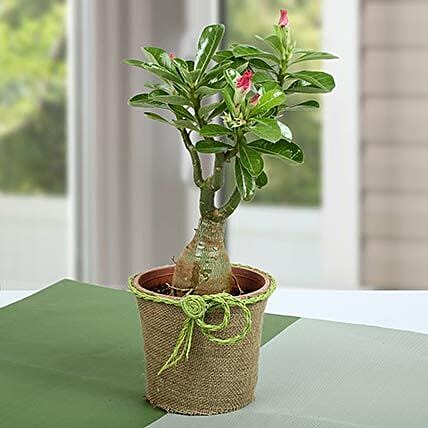 Desert Rose Beautiful Plant: Best Outdoor Plant