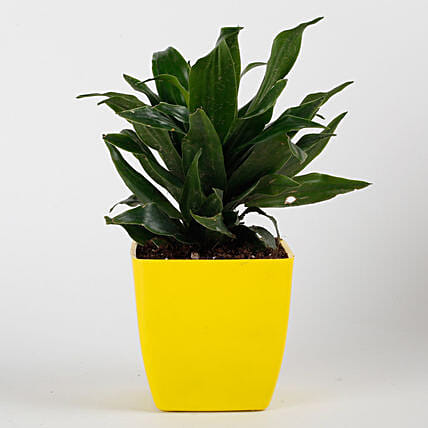 Dracaena Compacta Plant in Yellow Imported Plastic Pot: