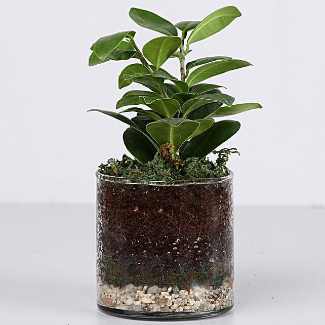 "Ficus Compacta Plant 4"" Cylinder Glass Terrarium: Gift Ideas"