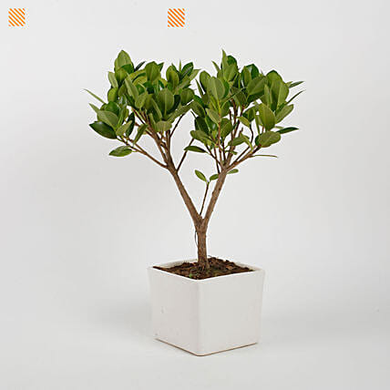 Ficus Longisland Bonsai Plant in White Ceramic Pot: Best Outdoor Plant