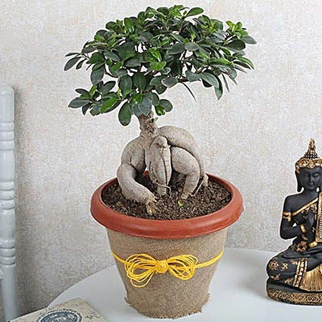 Ficus Microcarpa Bonsai 1000gm: