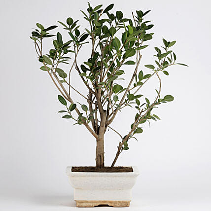 Ficus Panda Plant in White Ceramic Pot: Bonsai Plants