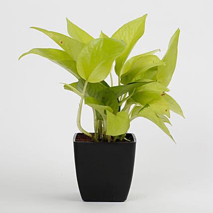 Golden Money Plant in Black Imported Plastic Pot: Good Luck Plants