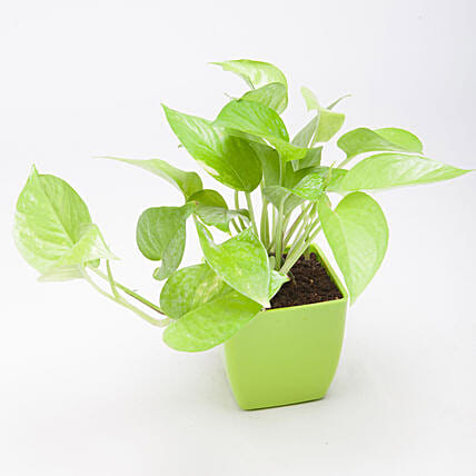 Golden Money Plant in Green Plastic Pot: Money Tree