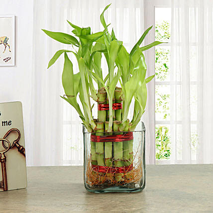 Good Luck Two Layer Bamboo Plant Midnight Delivery Gifts