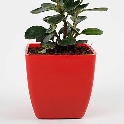 Gorgeous Ficus Compacta Plant: Send Gifts for Dussehra