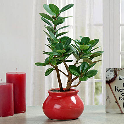 Green Ficus Dwarf Beauty Plant: