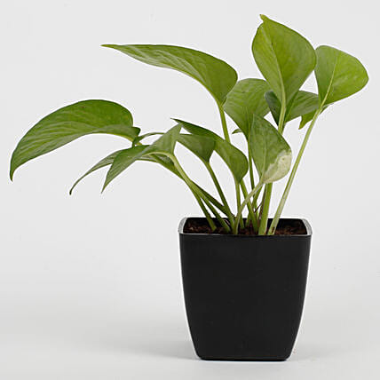 Green Money Plant in Imported Plastic Pot: Money Plant