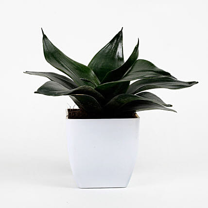 Green Sansevieria Plant In White Imported Plastic Pot: Tropical Plants