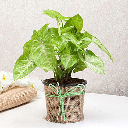 Hue of Green Syngonium Plant: Spiritual Gifts