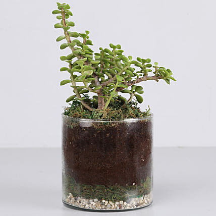 """Jade Plant 4"""" Cylinder Glass Terrarium: Gifts to India"""