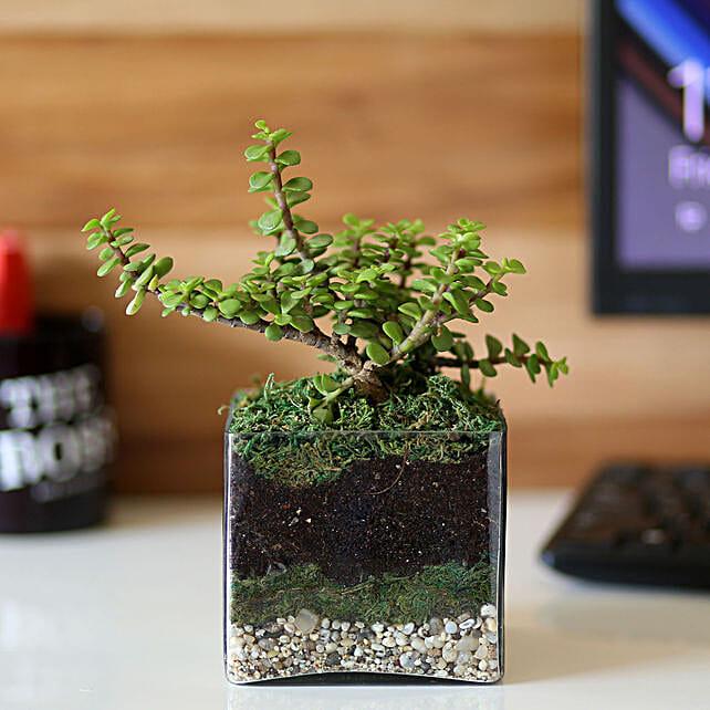 "Jade Plant 4"" Glass Terrarium: Ornamental Plant Gifts"