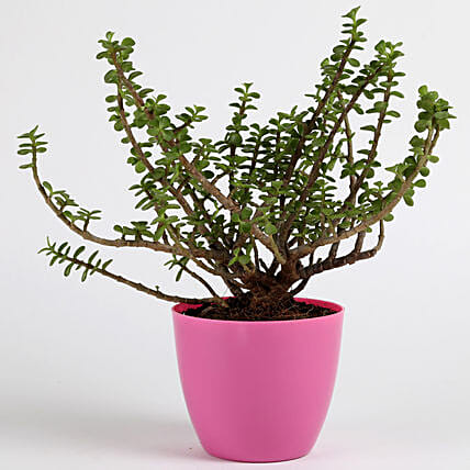 Jade Plant in Pink Imported Plastic Pot: Succulents and Cactus Plants