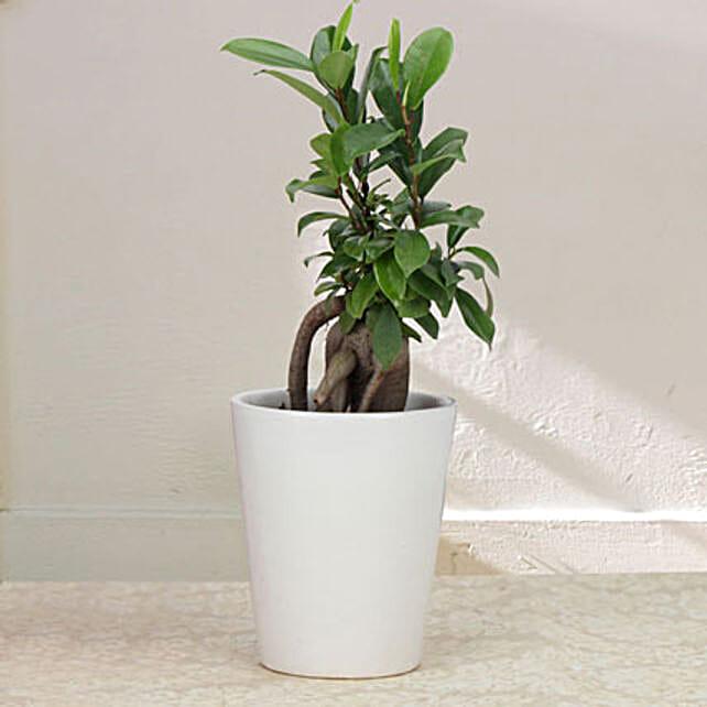 Keepsake Ficus: Bonsai Plants