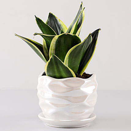 Lotus Sansevieria in Pearl White Wave Planter: Buy Indoor Plants