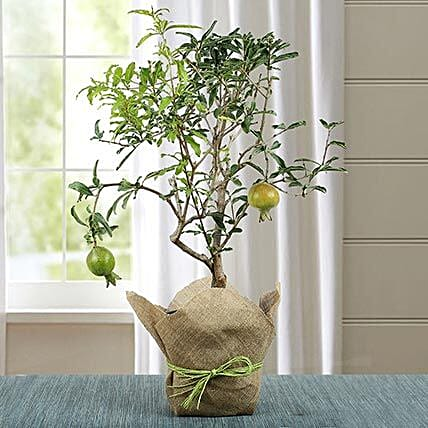 Lovely Bonsai Pomegranate Plant: Succulents and Cactus Plants