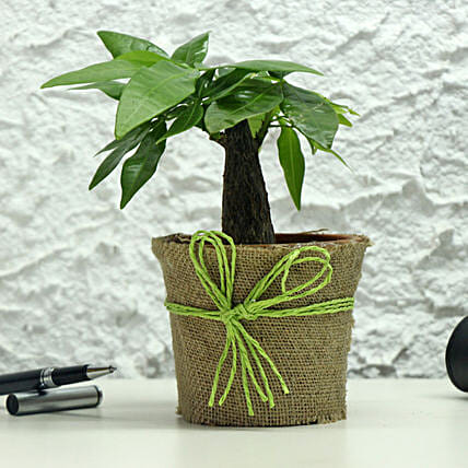 Lucky Money Tree: Outdoor Plants