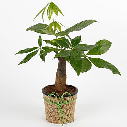 Lucky Pachira Bonsai Plant: Outdoor Plants