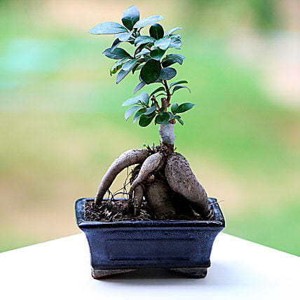 Marvellous Ficus Microcarpa Plant: Gifts for Basant Panchami