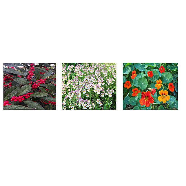 Mesembryanthemum Nemesia & Nasturtium Seeds Combo: