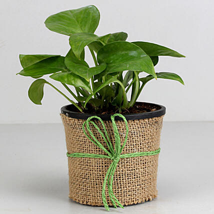 Money Plant in Black Plastic Pot: Money Tree