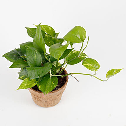Money Plant in Earthy Brown Coir Pot: Money Tree