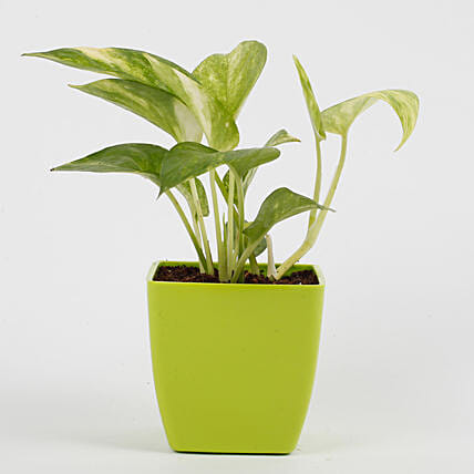 Money Plant in Imported Plastic Pot: Tropical Plants