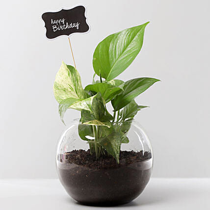 Money Plant Terrarium For Birthday: Air Purifying Plants