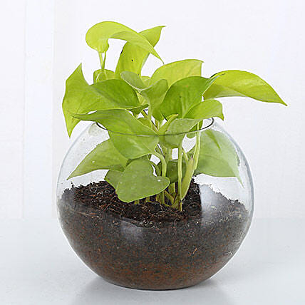 Money Plant Terrarium: Money Plant