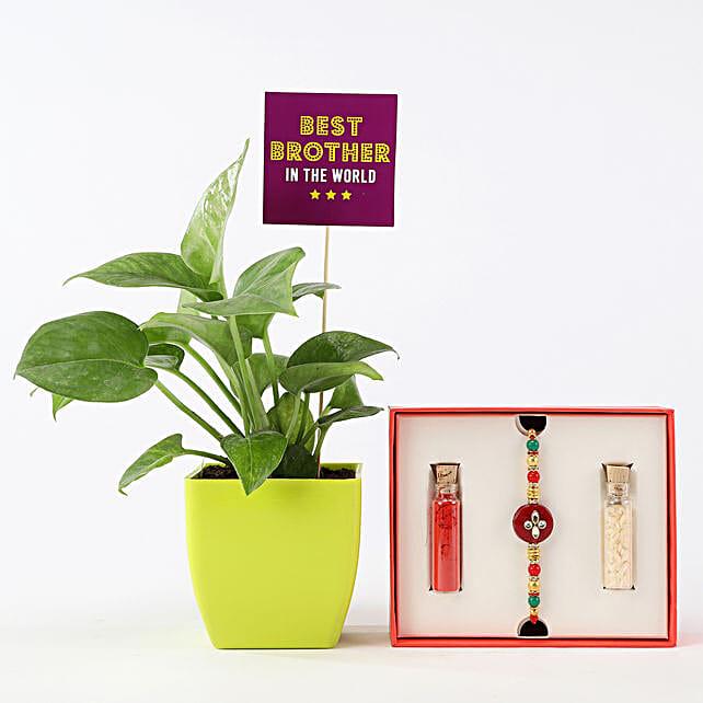 Money Plant With Red & White Rakhi: Rakhi / Raksha Bandhan Gifts