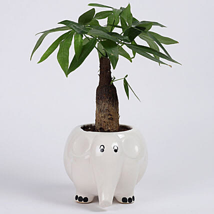 Pachira Bonsai in Elephant Ceramic Pot: Tropical Plant Gifts