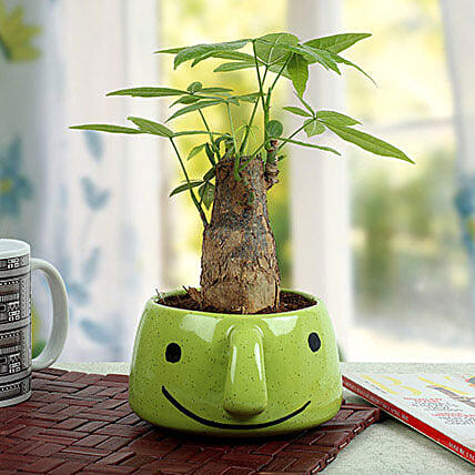 Pachira Bonsai In Smiley Vase: Bonsai Plants