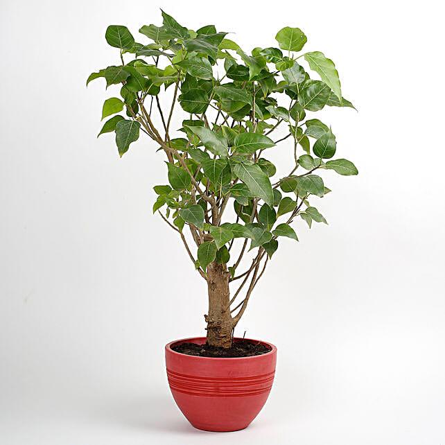 Paras Peepal Bonsai Plant in Recycled Plastic Pot: