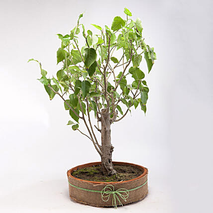 Paras Peepal Bonsai Plant in Terracotta Circular Tray: Tropical Plant Gifts