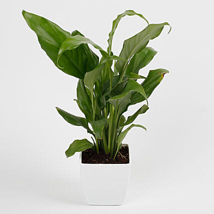Peace Lily Plant in Imported Plastic Pot: Anniversary Gifts