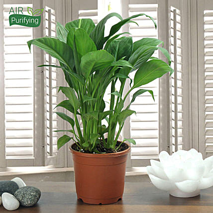 Peace Lily Plant: Ornamental Plants